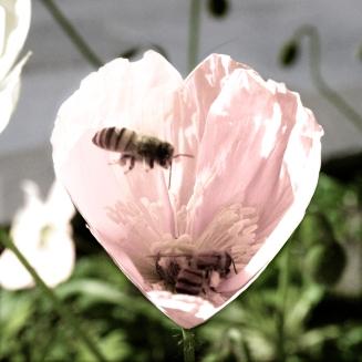 2 Honeybees in Heart-Shaped Poppy by Ave Valencia