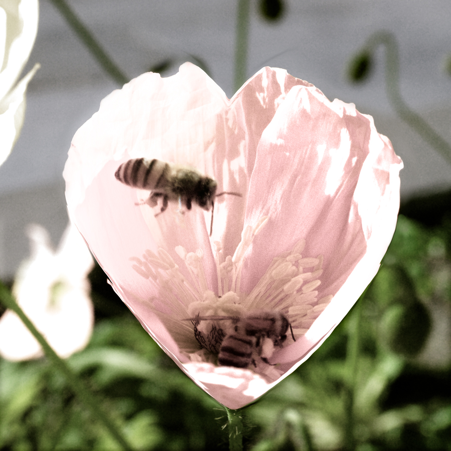 2 Honeybees in Heart-Shaped Poppy by Ave Valencia