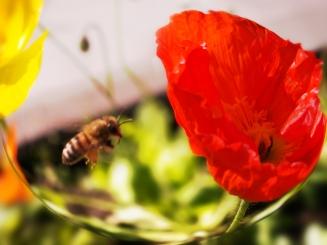 Honeybee Flies To Poppy by Ave Valencia
