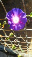 purple morninglory wire fence