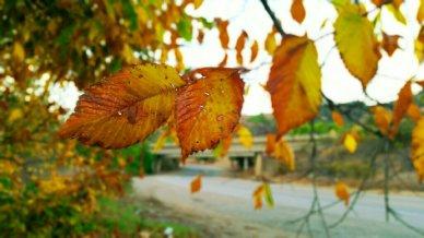 Ventura Canada Larga autumn leaves