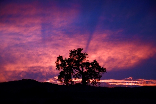 Sunset Tree Santa Ynez Valley