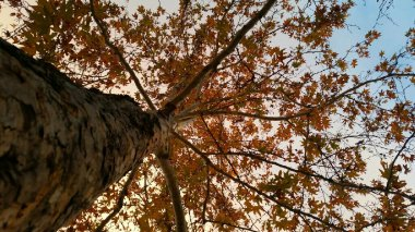 yellow-maple-ojai-1-avevalencia.jpg