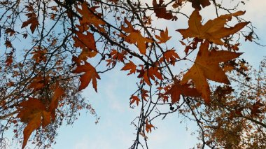 yellow-maple-ojai-3-avevalencia.jpg