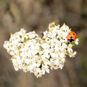 white heart shaped wild flower and ladybug Cambria California