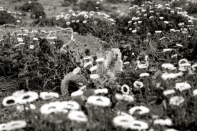 black and white curious squirrel among flowers, Cambria California