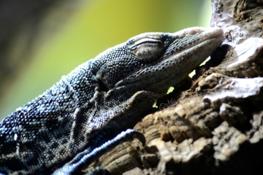 Blue sleeping monitor lizard