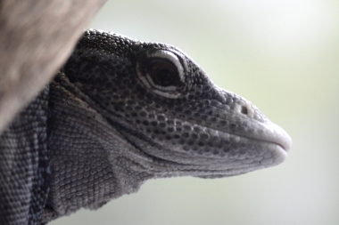 lizard open eyes close up