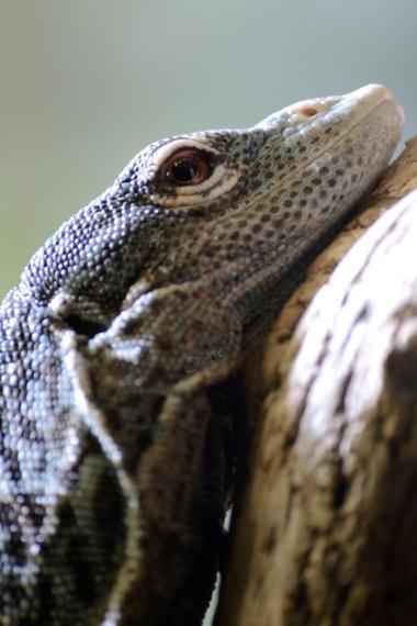 blue grinning lizard brown eyes close up