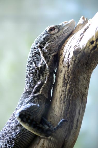 blue lizard resting chin on branch