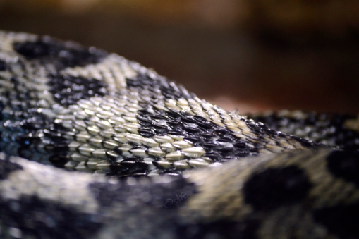 Black and cream colored viper, skin close up