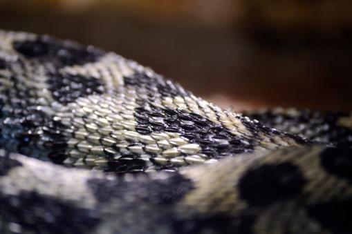 Black and cream colored viper, skin close up
