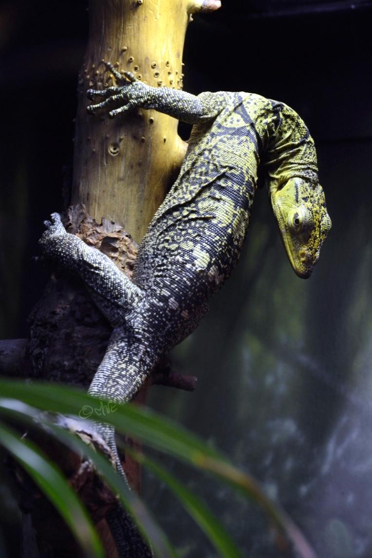 Green and black lizard climbing trunk