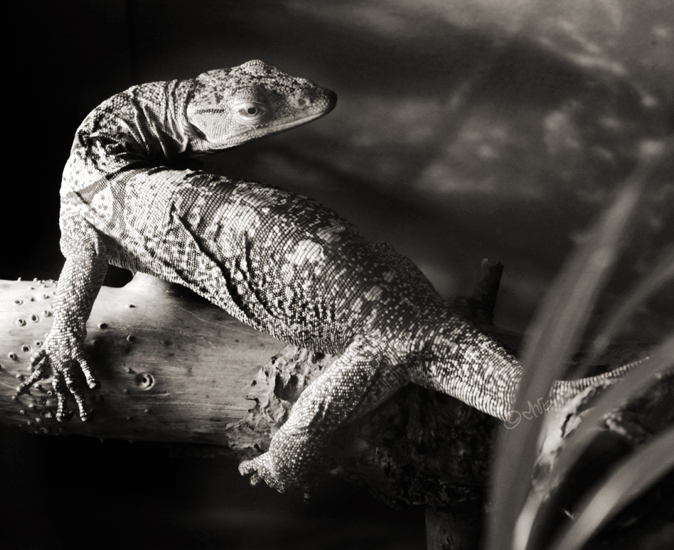 sepia toned lizard against trunk