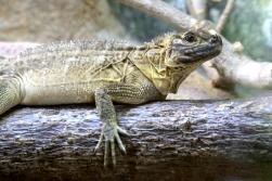 yellowish bright-eyed lizard