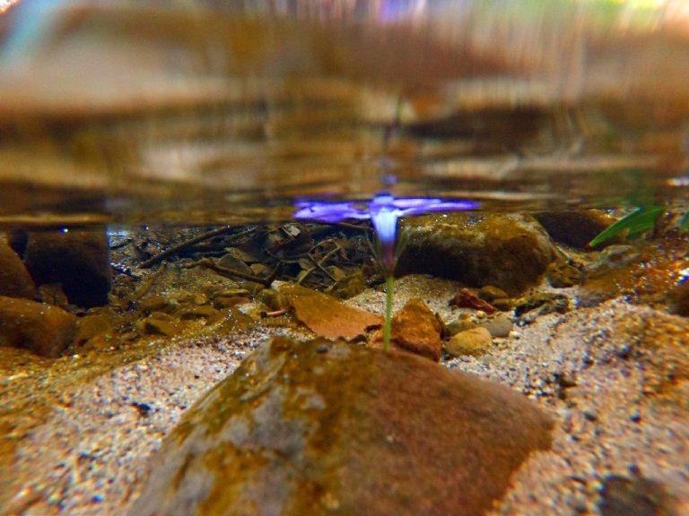 purple flower floating in brook, underwater view
