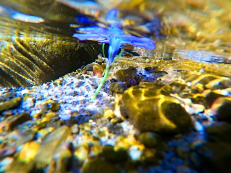 purple flower submerged in brook, yellow light bouncing off rocks, underwater view
