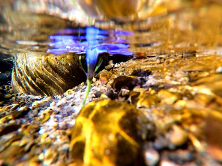 purple flower submerged in brook, underwater view, yellow light bouncing off rocks